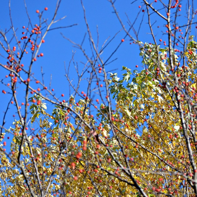 Red berries where leaves have dropped, in a backdrop of yellow