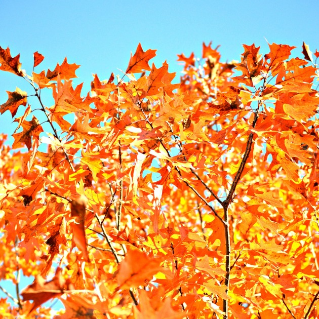 Red-orange leaves in the sun